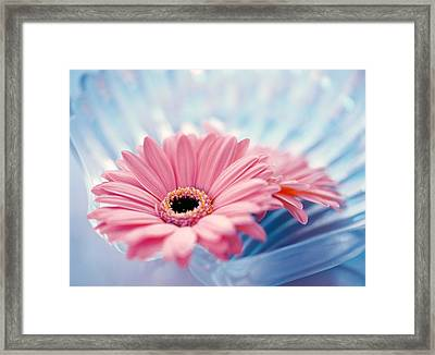 Close Up Of Two Pink Gerbera Daisies Framed Print by Panoramic Images