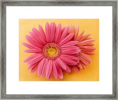 Close Up Of Two Pink Zinnias On Yellow Framed Print by Panoramic Images