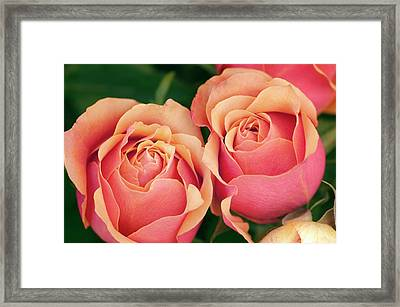 Close Up Of Two Roses (rosa Hybrid) Framed Print by Maria Mosolova