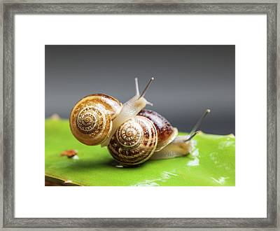Close Up Of Two Snails Matting Framed Print by Ozgur Donmaz