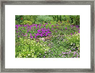 Close-up Of Various Lantana Flowers Framed Print