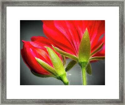 Close-up Of Vining Geranium From Back Framed Print