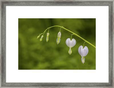 Close-up Of White Bleeding Heart Framed Print