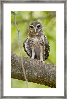 Close-up Of White-browed Hawk Owl Ninox Framed Print