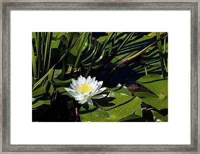 Close-up Of White Water Lily Flowers Framed Print