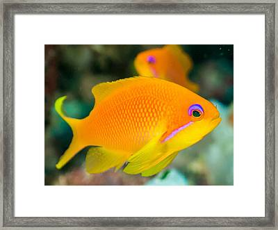 Close-up Of Yellow Fish Swimming Framed Print by Oscar Robertsson / Eyeem