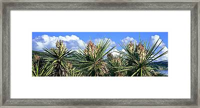 Close-up Of Yucca Plants In Bloom Framed Print