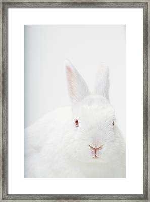 Close Up Portrait Of A White Domestic Framed Print by Rebecca Hale