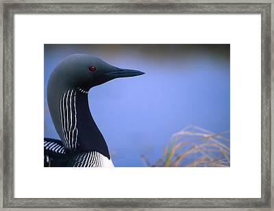 Close Up Portrait Of An Arctic Loon Framed Print by Peter Mather
