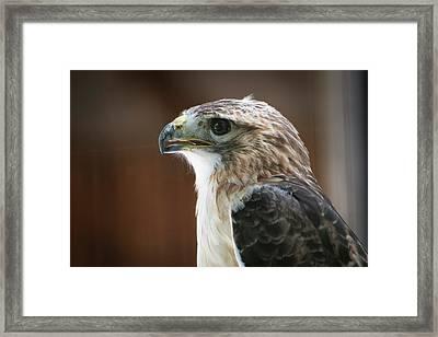 Close-up Portrait Of Hawk With Beak Framed Print by Sheila Haddad