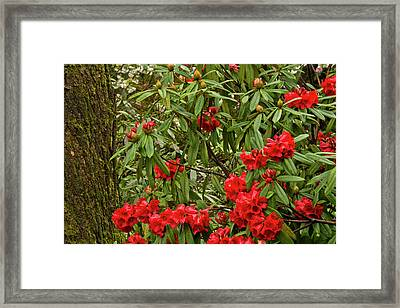 Close-up, Rhododendrons, Crystal Framed Print
