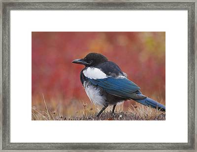 Close Up View Of A Black-billed Magpie Framed Print