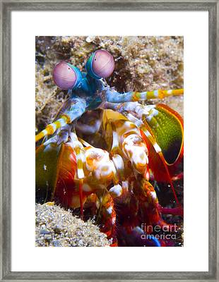 Close-up View Of A Mantis Shrimp Framed Print by Steve Jones