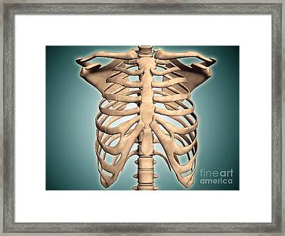 Close-up View Of Human Rib Cage Framed Print by Stocktrek Images