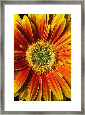 Close Up Yellow Orange Mum Framed Print by Garry Gay