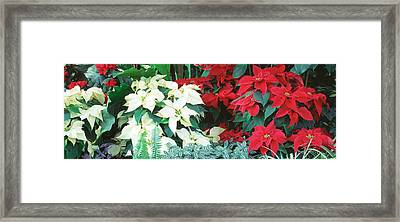 Close-us Of Red And White Poinsettias Framed Print by Panoramic Images