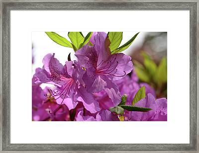 Close View Of A Rhododendron Framed Print by Darlyne A. Murawski