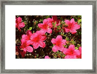 Close View Of An Azalea, Rhododendron Framed Print by Darlyne A. Murawski