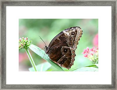 Closed Blue Morpho Framed Print