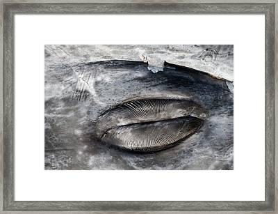 Closed Grey Whale Eye Framed Print by Christopher Swann