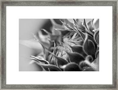 Closed Sunflower Blossom Framed Print