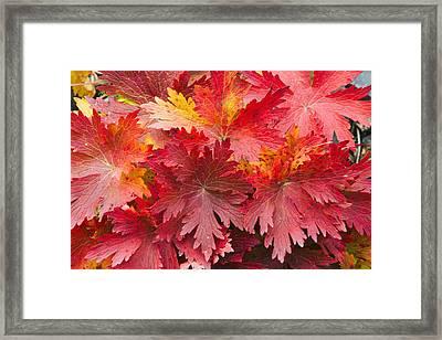 Closeup Detail Of Autumn Foliage Kodiak Framed Print by Kevin Smith