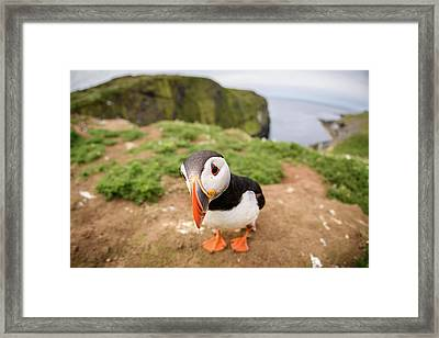 Closeup Fisheye View Of Puffin On Framed Print by Nuzulu