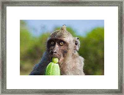 Closeup Monkey Eating Cucumber Framed Print
