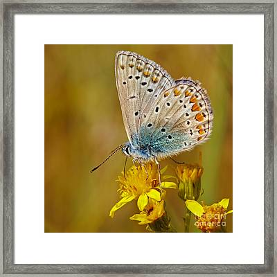 Closeup Of A Common Blue Butterfly Framed Print