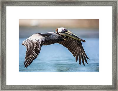 Closeup Of A Flying Brown Pelican Framed Print by Andres Leon