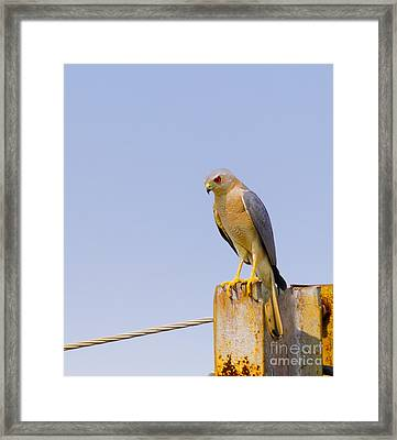 Closeup Of Accipiter Badius Framed Print by Image World