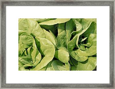 Closeup Of Boston Lettuce Framed Print by Anonymous