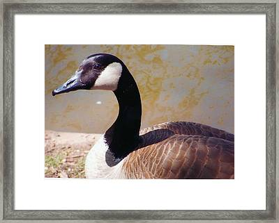 Closeup Of Canadian Goose Framed Print by Barb Baker