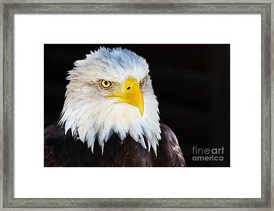 Framed Print featuring the photograph Closeup Portrait Of An American Bald Eagle by Nick  Biemans
