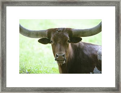 Closeup Texas Longhorn Framed Print by Rich Collins