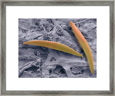 Closterium Desmid Framed Print by Steve Gschmeissner