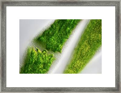 Closterium Desmids Framed Print by Frank Fox