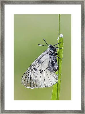 Clouded Apollo Butterfly Framed Print by Heath Mcdonald