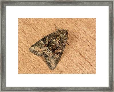 Clouded Brindle Moth Framed Print by Nigel Downer
