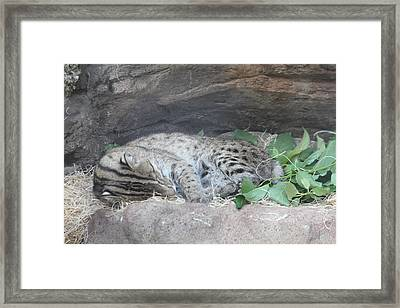 Clouded Leopard - National Zoo - 01131 Framed Print