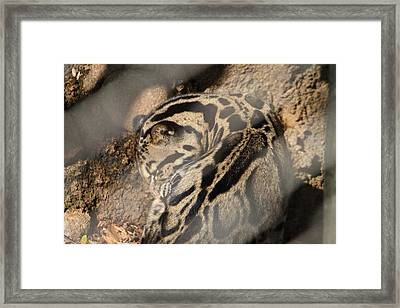 Clouded Leopard - National Zoo - 01133 Framed Print by DC Photographer