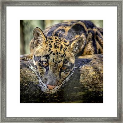 Framed Print featuring the photograph Clouded Leopard by Steven Sparks