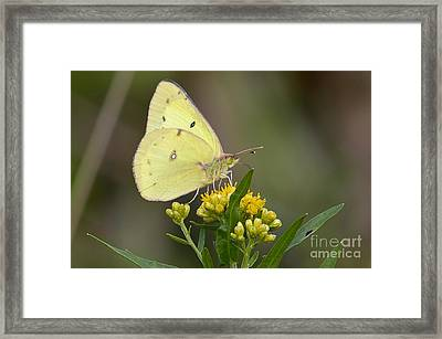 Framed Print featuring the photograph Clouded Sulphur by Randy Bodkins