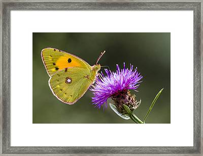 Clouded Yellow Butterfly Feeding Framed Print by Alex Huizinga