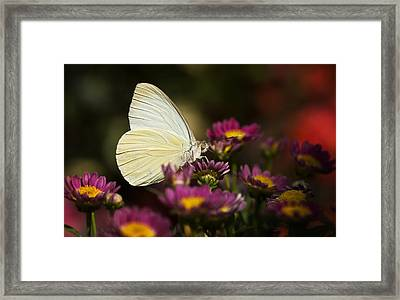 Cloudless Sulphur Butterfly  Framed Print by Saija  Lehtonen
