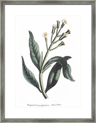 Clove Eugenia Aromatica Framed Print by Anonymous