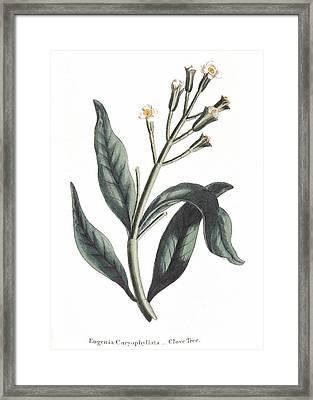 Clove Eugenia Aromatica Framed Print