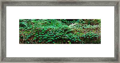 Clover And Ferns On Downed Redwood Framed Print by Panoramic Images