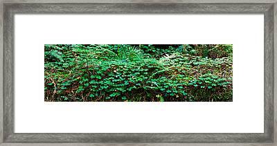 Clover And Ferns On Downed Redwood Framed Print