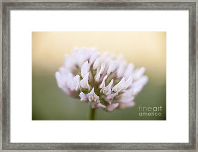 Clover Flower Closeup Framed Print